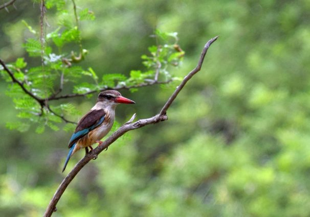 Brown-Hooded Kingfisher - Bird Watching