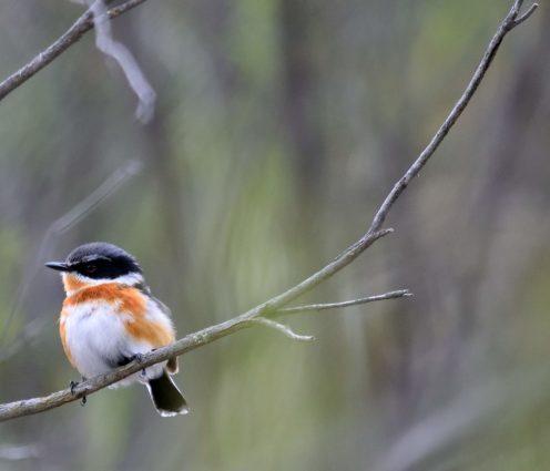 Cape Batis - Bird Watching