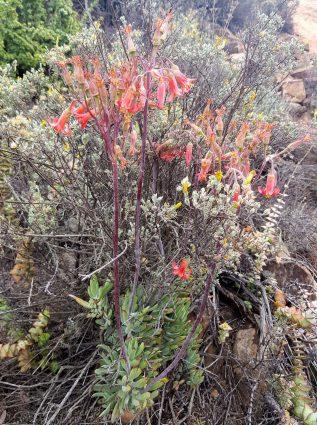 Cotyledon orbiculata - Plakkie - Swartberg Mountain