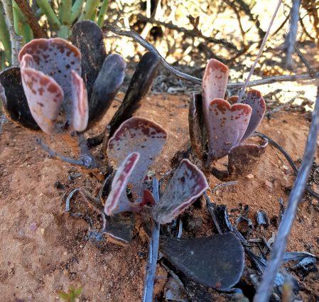 Sucullent Safari - Dromischus triflorus