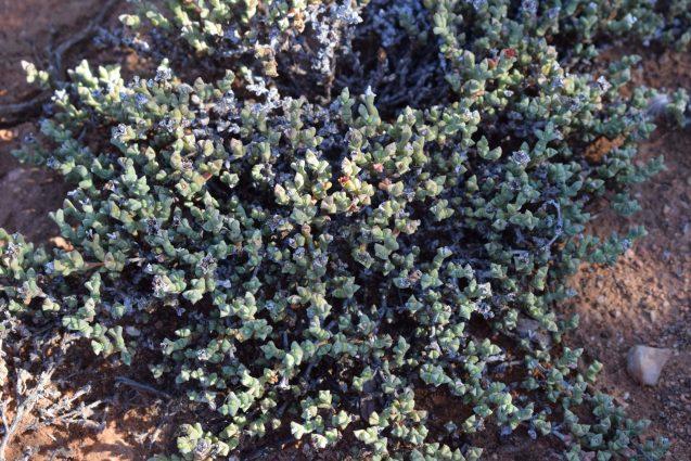 Succulent Sundown Safari - Drosanthemum
