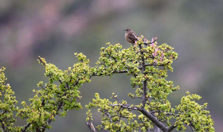 Karoo Chat - Birding