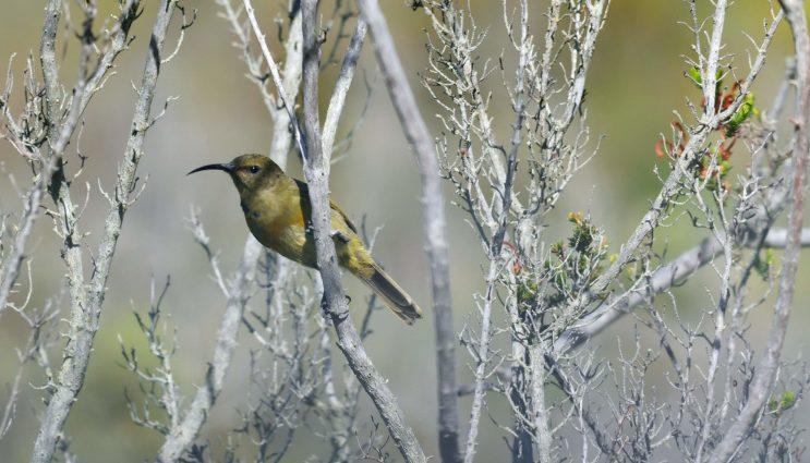 Orange-Breasted Sunbird - Birding