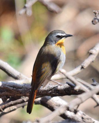 Robin-Chat Cape 6